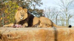 A lion sitting on a rock in a zoo